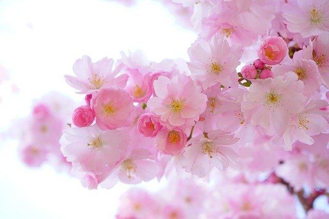 Flowers Cherry Blossom